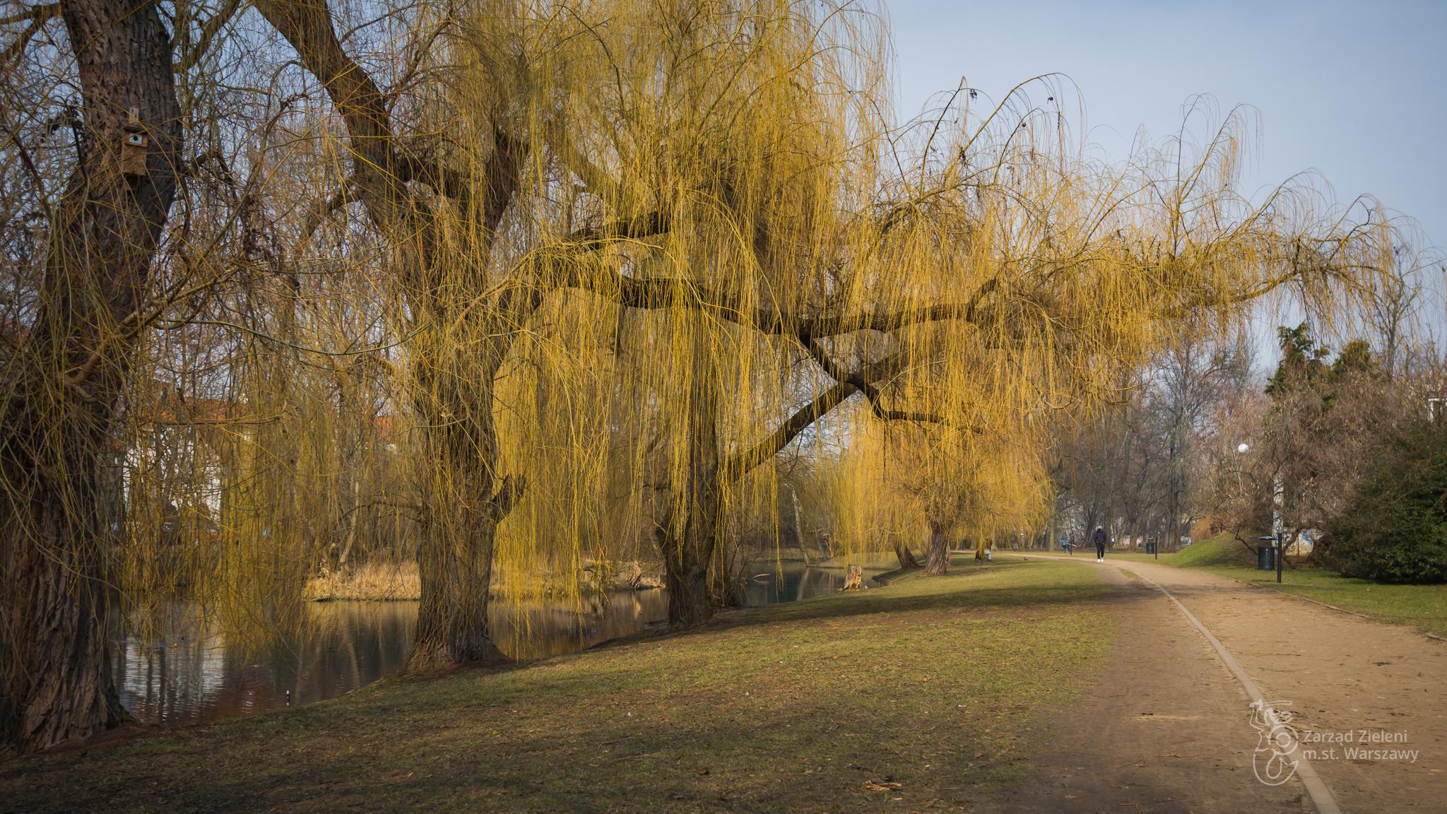 Wierzby i alejka w Parku Sieleckim