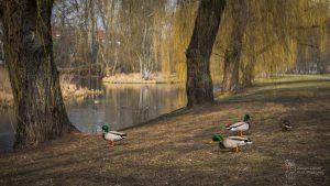 Kaczki spacerują na brzegu stawu w Parku Sieleckim, w tle żółte liście wierzb