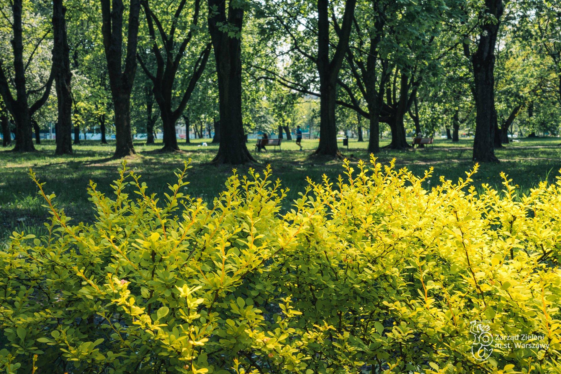 Jasnozielone krzewy w Parku Powstańców Warszawy, mężczyzna biegnie alejką - uprawia jogging, kobieta siedzi na ławce.