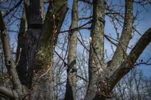Wiązania elastyczne na drzewie w Parku Dreszera