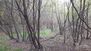 Obcy gatunek inwazyjny - klon jesionolistny. Podrosty tych drzew usuwamy w wybranych miejscach nad Wisłą