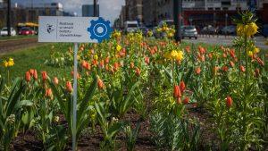 Tulipany i szachownice cesarskie w pasie drogowym Alei Jerozolimskich - na pierwszym planie tabliczka z logo Budżetu Obywatelskiego