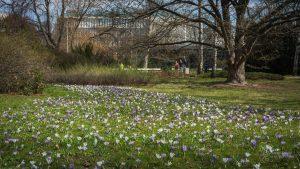 Krokusy w Parku Ujazdowskim - w tle drzewo i spacerująca para