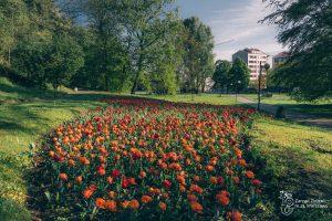 Czerwone tulipany w Parku Kazimierzopwskim