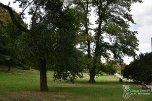 Drzewa w Parku Kazimierzowskim - najwięcej w parku jest lip i klonów