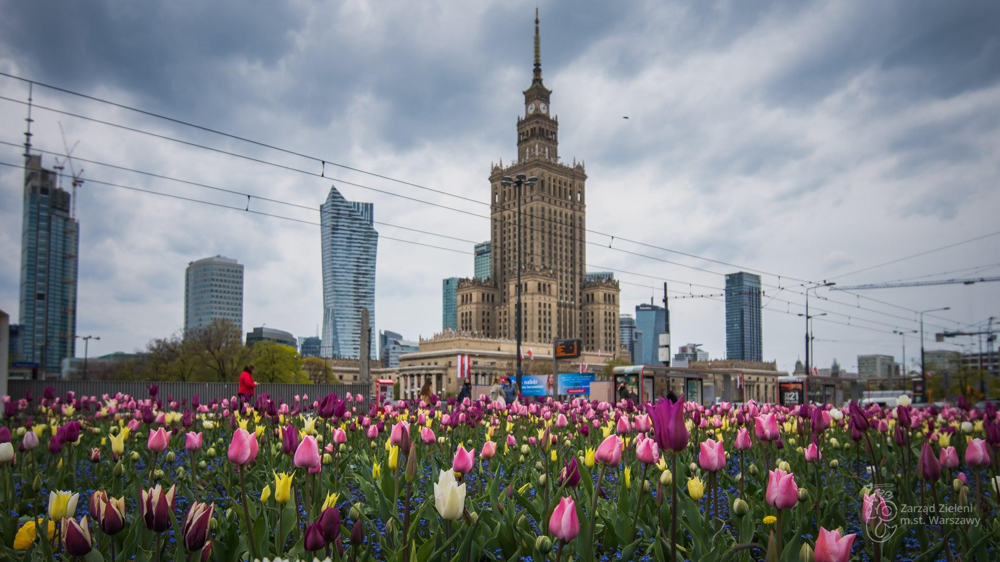Wielobarwne tulipany na rondzie Dmowskiego - w tle przystanek autobusowy, Pałac Kultury i Nauki oraz kilka wieżowców