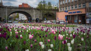 Tulipany w barwach od bieli przez róż do fioletu na kwietniku przed Szpitalem Solec