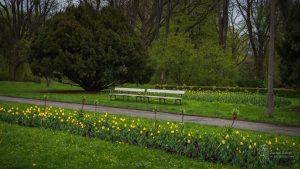 Szpalery żółtych tulipanów i czerwonych koron cesarskich w alejce w Parku Skaryszewskim - w tle ławki, duży, rozłożysty krzew oraz drzewa