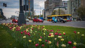 Żółto-czerwone tulipany na skrzyżowaniu ul. Marszałkowskiej i Królewskiej