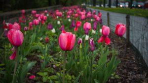Różowe, czerwone i białe tulipany przy al. Waszyngtona
