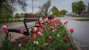 Tulipany wśród ławek na Bulwarach