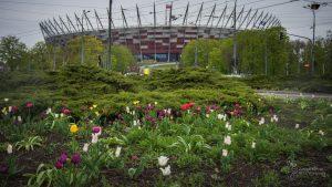 Tulipany na rondzie Waszyngtona - w tle Stadion Narodowy