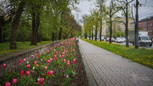 Wielobarwne kwitnące tulipany w kwietniku przy al. Waszyngtona wzdłuż ogrodzenia Parku Skaryszewskiego