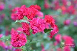 Róże w Parku Praskim