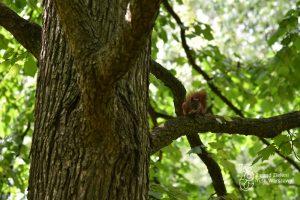 Wiewiórka na drzewie w Parku Praskim