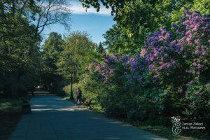 Kwitnące bzy w Parku Praskim