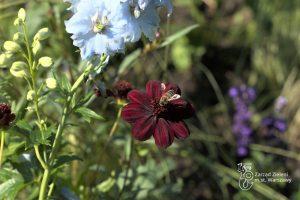 Pszczoła na onętku w barwie czekoladowej w Parku Skaryszewskim