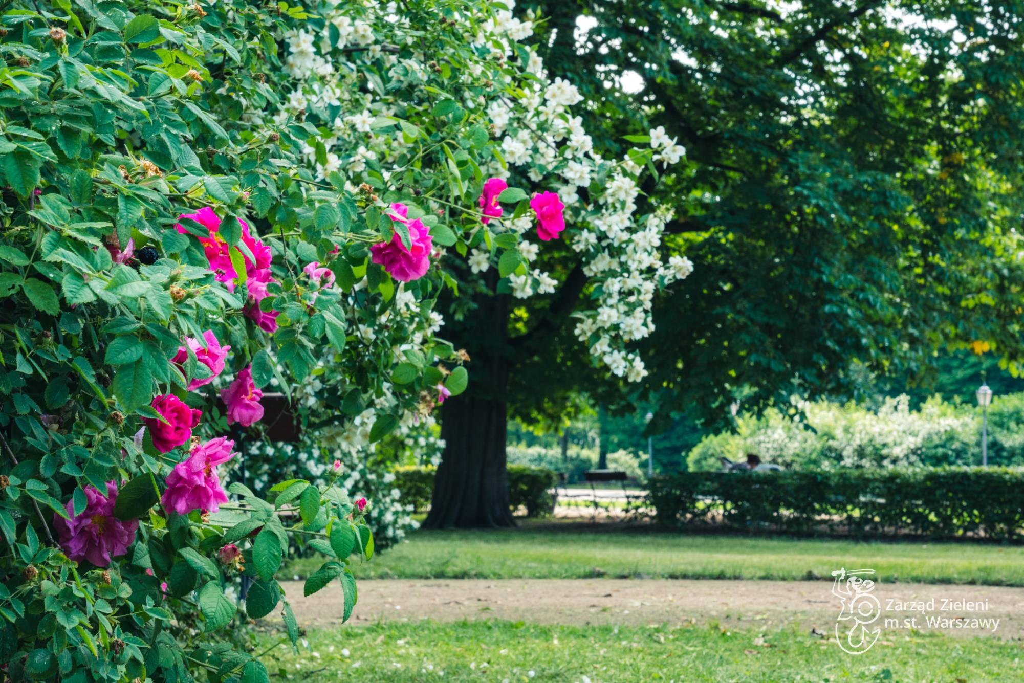 Róże francuskie w Ogrodzie Krasińskich, w tle jaśminowiec wonny