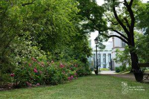 Róże francuskie w Ogrodzie Krasińskich